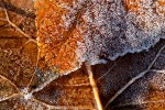 Melting Frost on Cottonwood Leaves