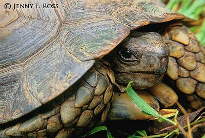 Burmese Brown Tortoise