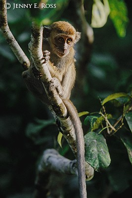 Long-Tailed Macaque 01