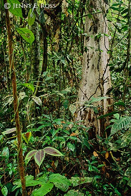 Bornean Rainforest