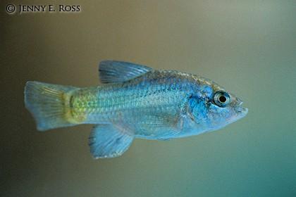New Blog 1 Desert Pupfish