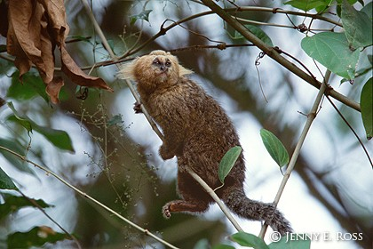 Buffy-Headed Marmoset