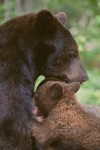 Black Bear Nursing