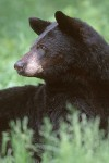 The American Black Bear #1