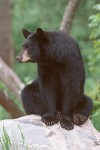 The American Black Bear #2
