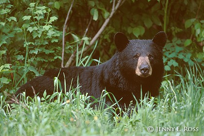 The American Black Bear #3