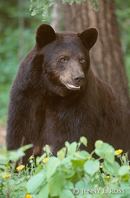 The American Black Bear #4